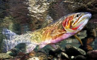 Пресноводная рыба из рода лососей