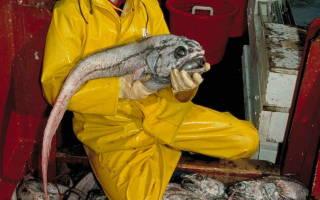 Маркус рыба фото