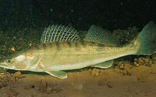 Рыба судак википедия на что ловить