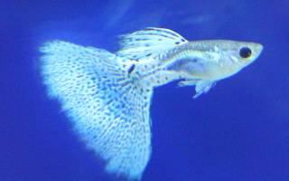 Секреты размножения гуппи в аквариуме
