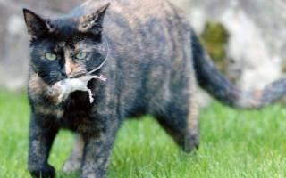 Самая лучшая порода кошек для ловли мышей