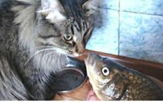 Почему британских кошек нельзя кормить рыбой