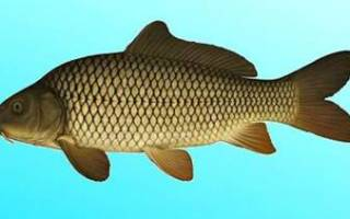 Рыба хищник рисунок