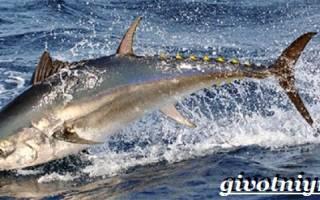 Альбакоре рыба фото